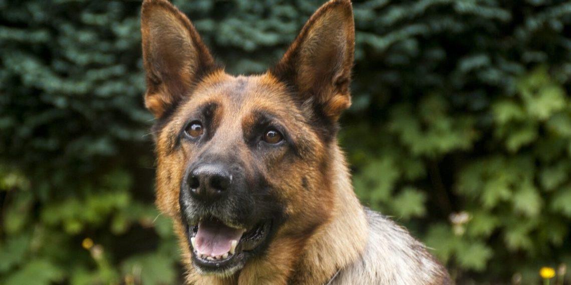 Científicos británicos entrenarán a perros para detectar el coronavirus. Foto: Pixabay
