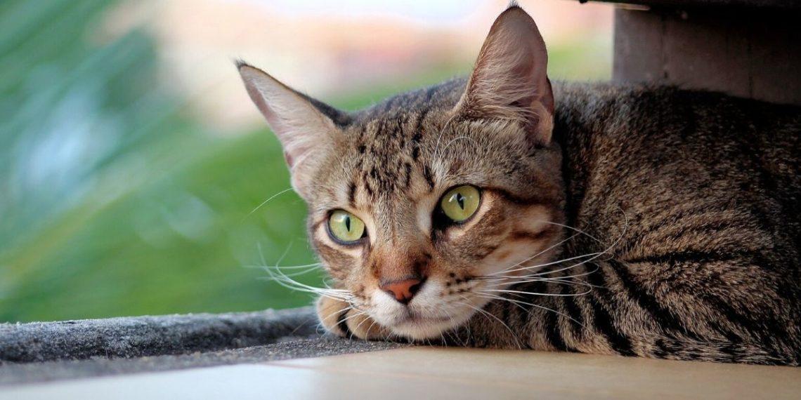 Confirman contagio de coronavirus en un gato en Bélgica. Foto: Pixabay.