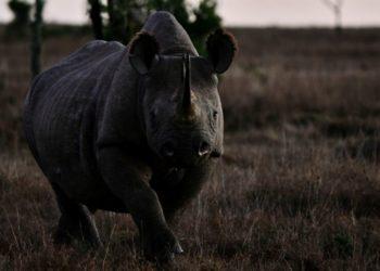 Revelan que la población del rinoceronte negro se viene recuperando lentamente. Foto: AFP