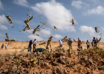 África oriental sufre una de las peores plagas de langostas de su historia. Foto: AP