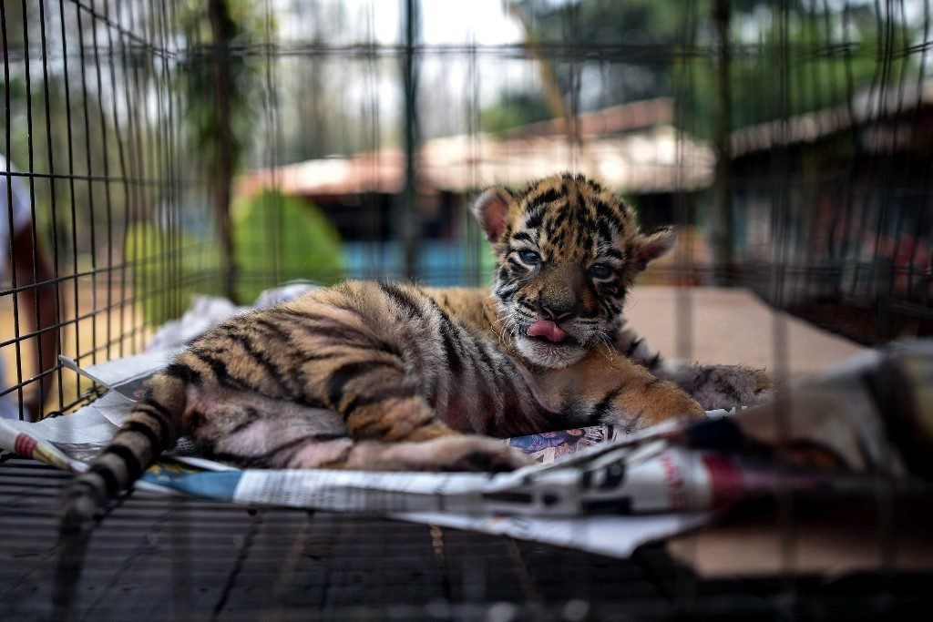 Bautizan a un tigre con el nombre de COVID