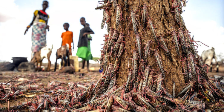 Plaga de langostas amenaza el este de África con una nueva oleada