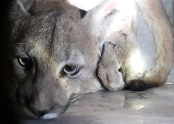 Capturan un puma en Santiago de Chile