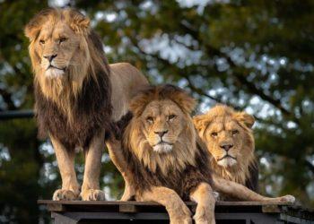 Leones descansan en una carretea en Sudáfrica