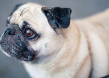 Coronavirus en perro