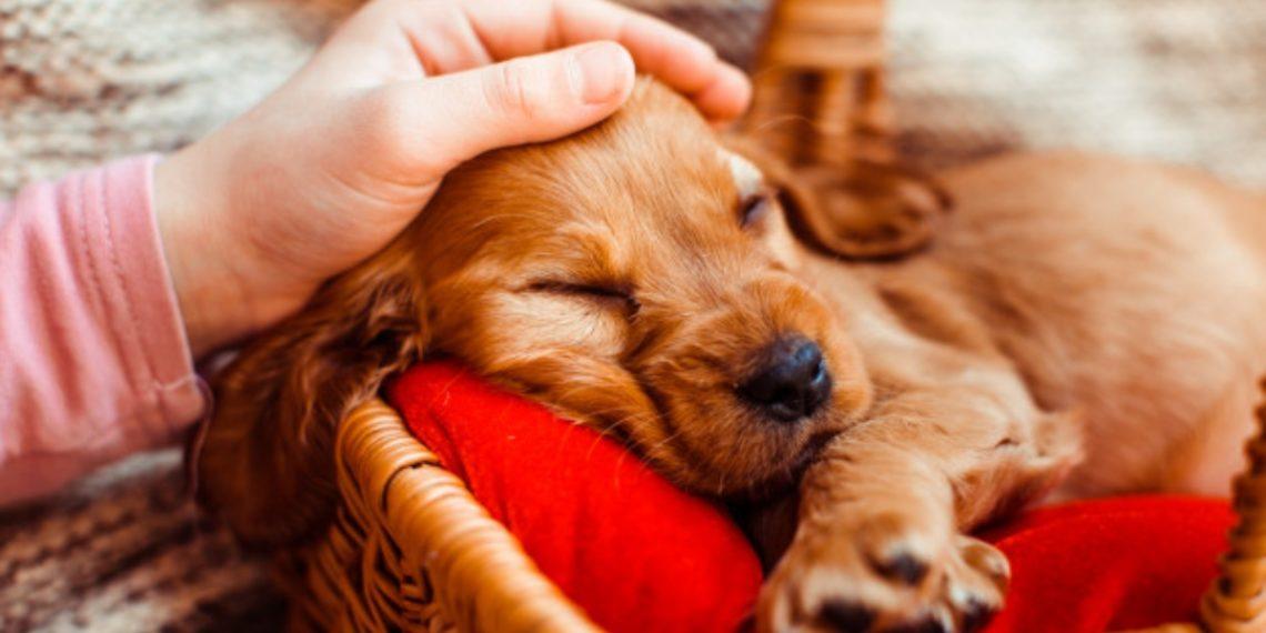 manual canino