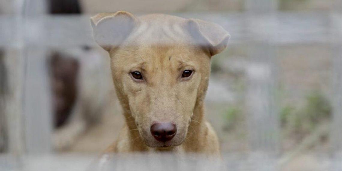 perros para consumo humano