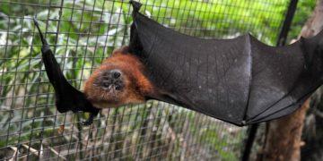 Murciélagos enfermedades