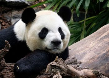 pandas regresarán a China