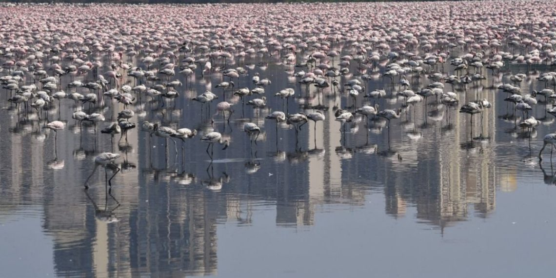 Flamingos India