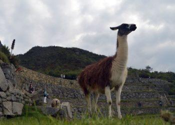 Llama coronavirus