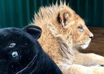 Fotógrafo le fracturó las patas a un león para que se dejara tomar fotos con los turistas y no escapara