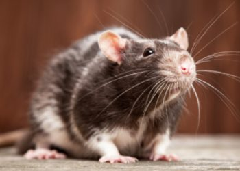 Trasplantan en ratas minihígados humanos