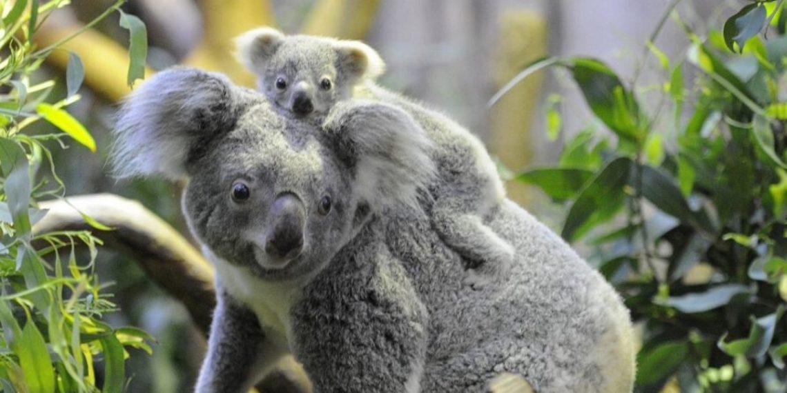 los koalas