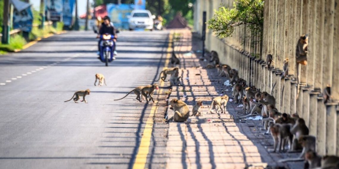 Monos Tailandia