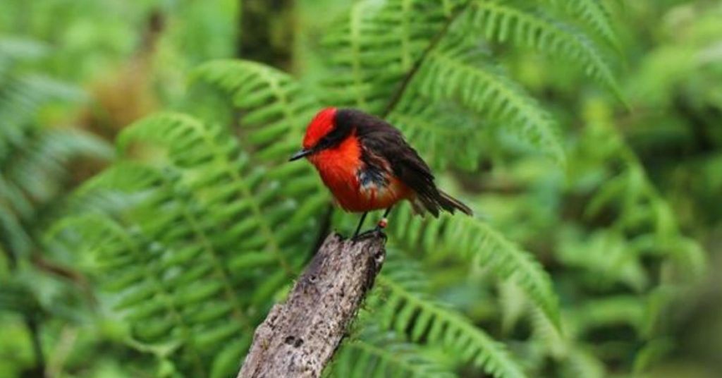 Nacen crías de pájaro brujo en las Islas Galápagos.