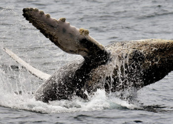 cría ballenas