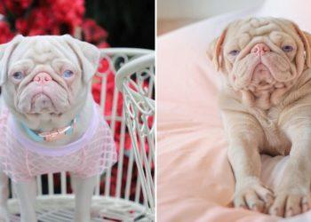 Milkshake el perro rosado que es famoso en Internet