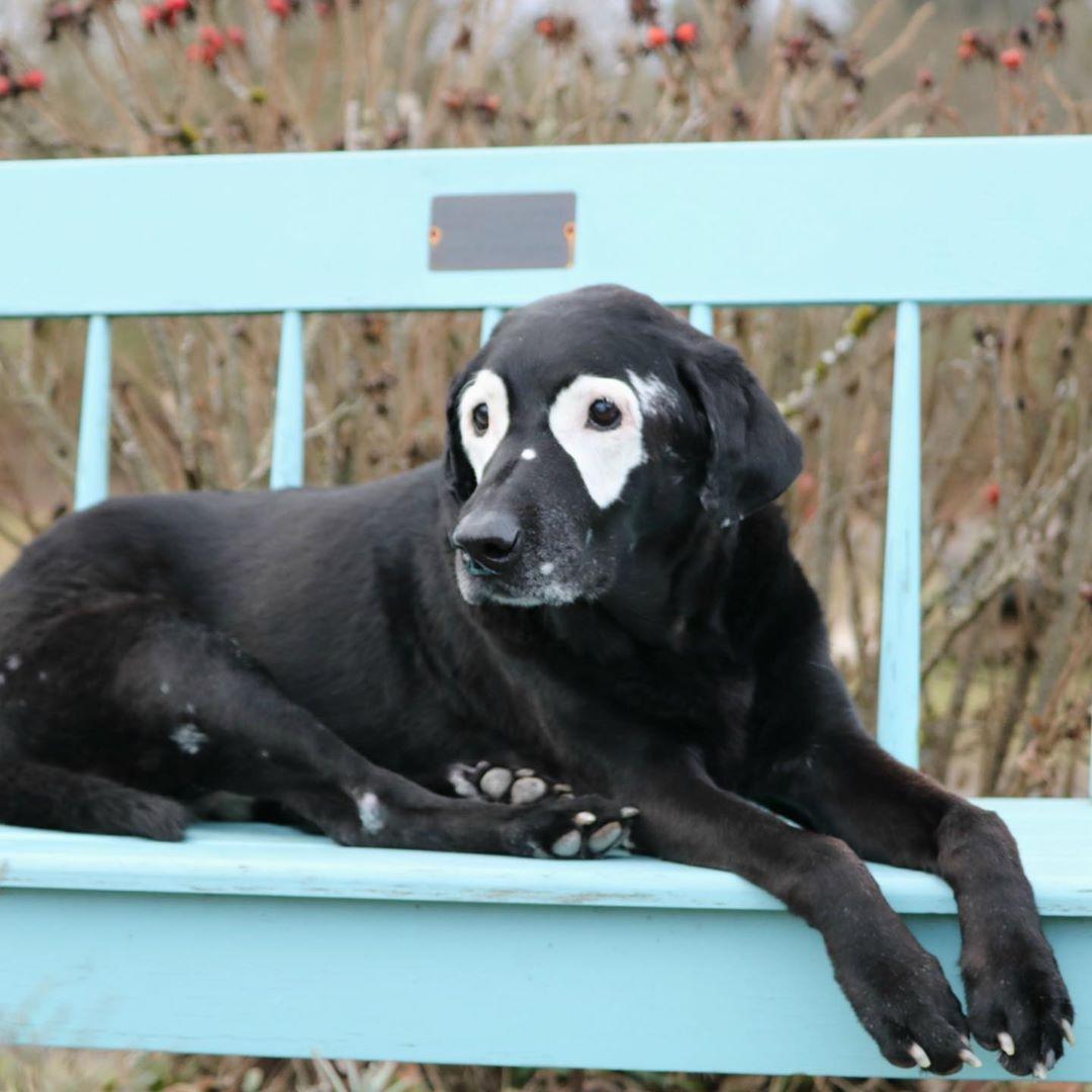 Perro con vitiligo