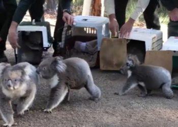 Koalas regresan a su hogar