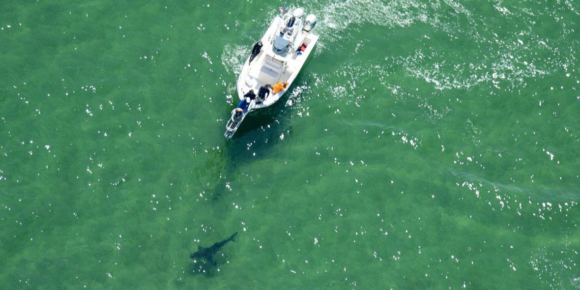 Tiburón atacó un bote en Tasmania y raptó a un niño