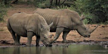 cacería de rinocerontes