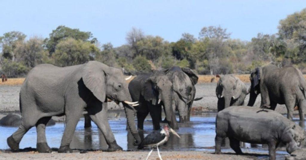 una cianobacteria habría provocado la muerte de elefantes en África
