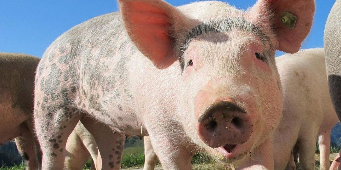 Ataque cerdo