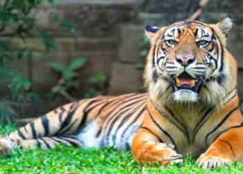 Tigres salvajes