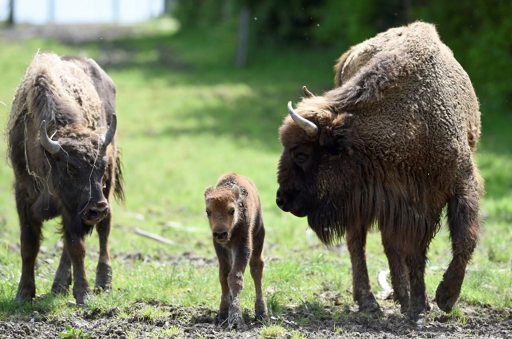 Bisonte ataca a mujer