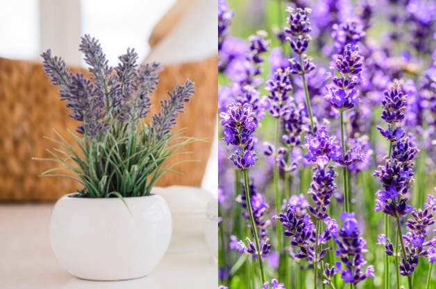 plantas arométicas