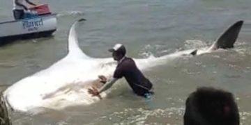 Fotos del tiburón antes de ser descuartizado. @fundacionazul