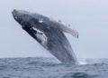 """Instalan sensores en el océano para captar las """"canciones de amor"""" de las ballenas jorobadas. Foto: EFE"""