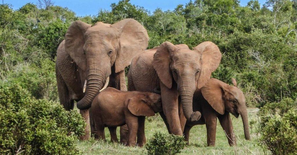 elefantes están en peligro en África