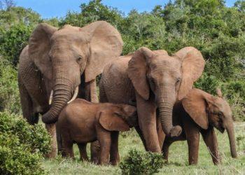 elefantes están en peligro