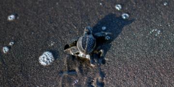 Liberación de tortugas bebé en playas de Guatemala.