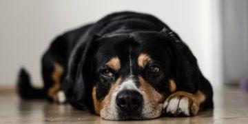 20 Perros ancianos son adoptados