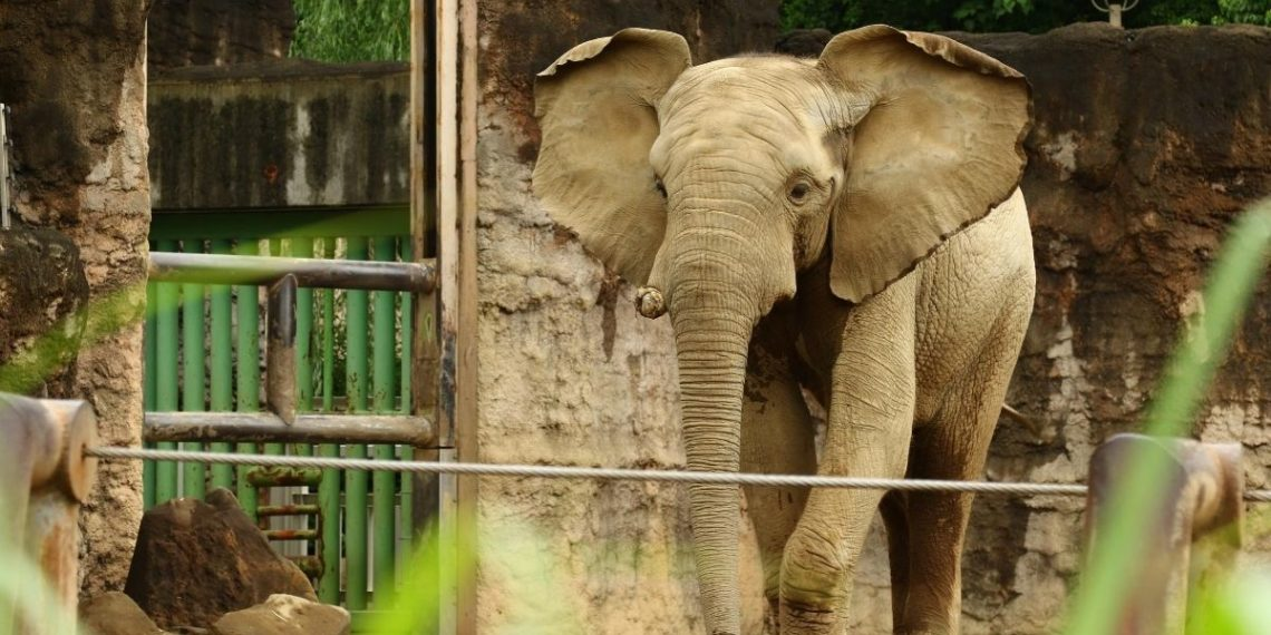 cannabis a los elefantes