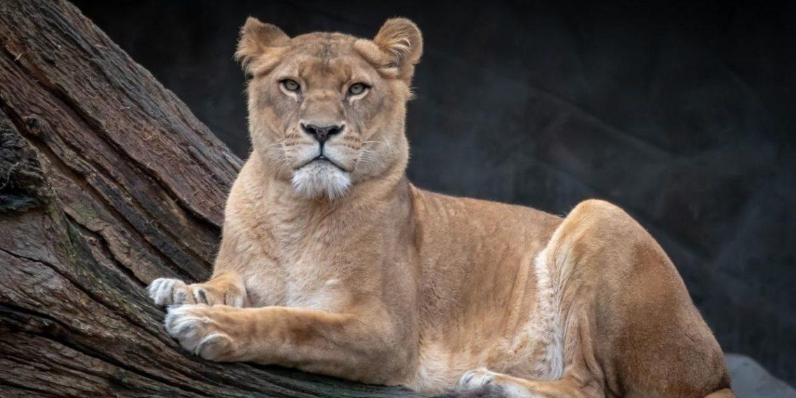 leonas en África