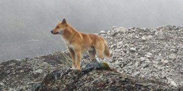 especie de perro cantor de Nueva Guinea
