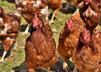 Gripe Aviar Australia