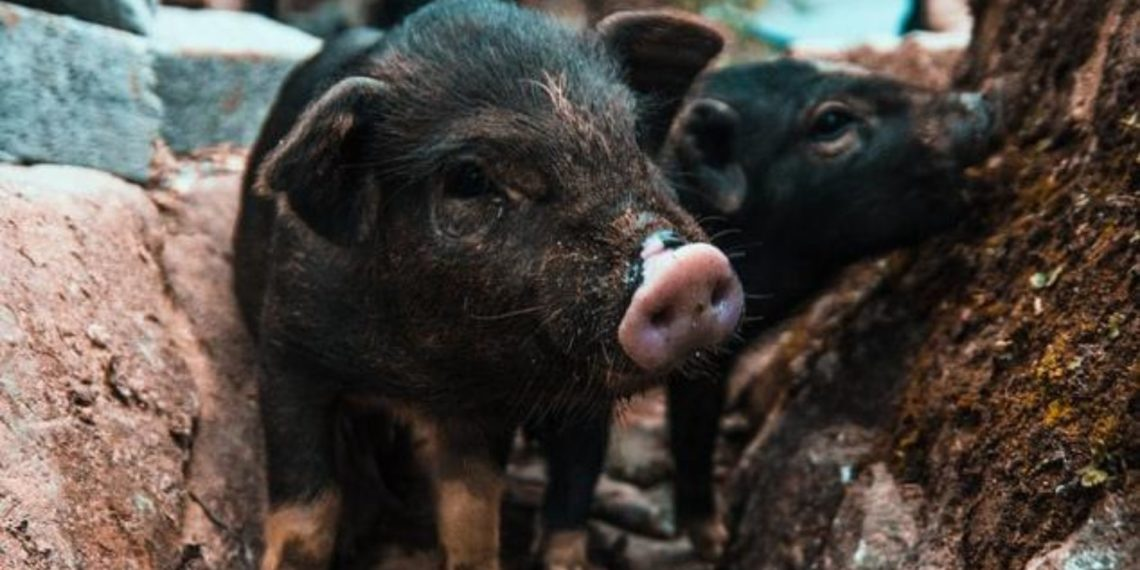 Cerdos salvan a un pez