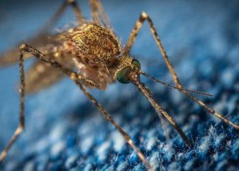 Mosquitos Florida