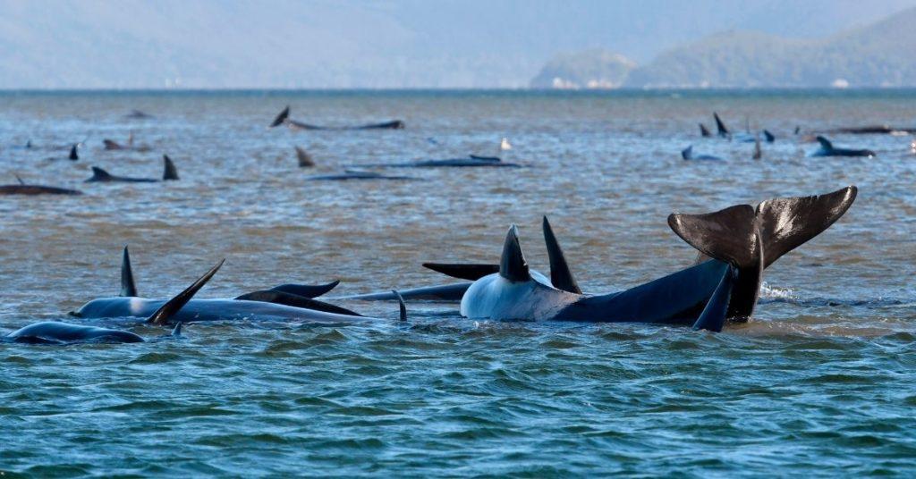 Ballenas varadas en una isla de Tasmania.