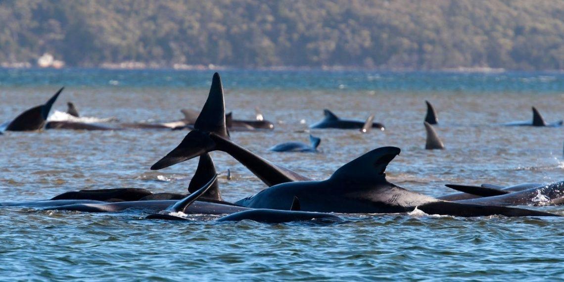 Ballenas varadas en Australia.