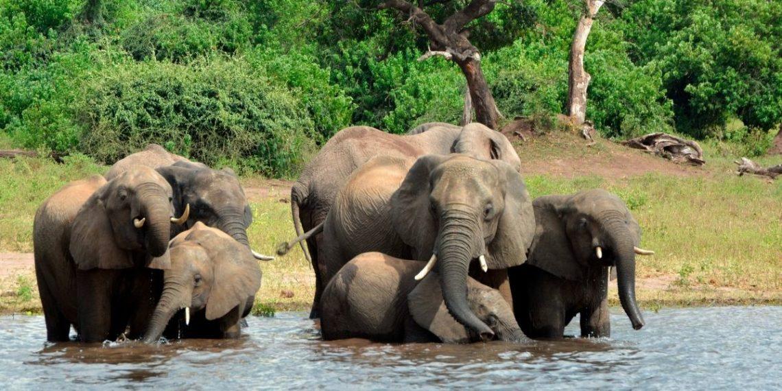 muerte de elefantes en Botsuana