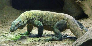 Dragón de Komodo serían llevados a la extinción por el cambio climático