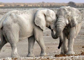 elefantes viejos