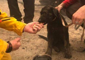 hallan cachorro vivo tras los incendios en California