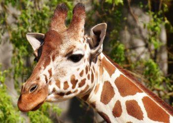 veterinarios de un zoológico curan las fracturas de una jirafa.